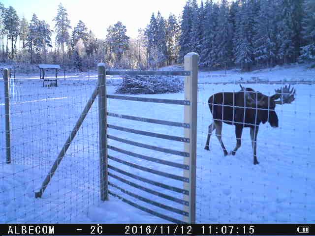 Viltslussen testas på Gårdsjö Älgpark med lyckat resultat